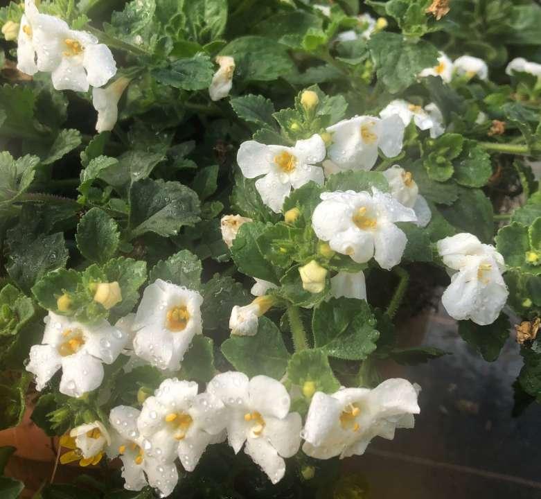 bacopa summer bedding plants