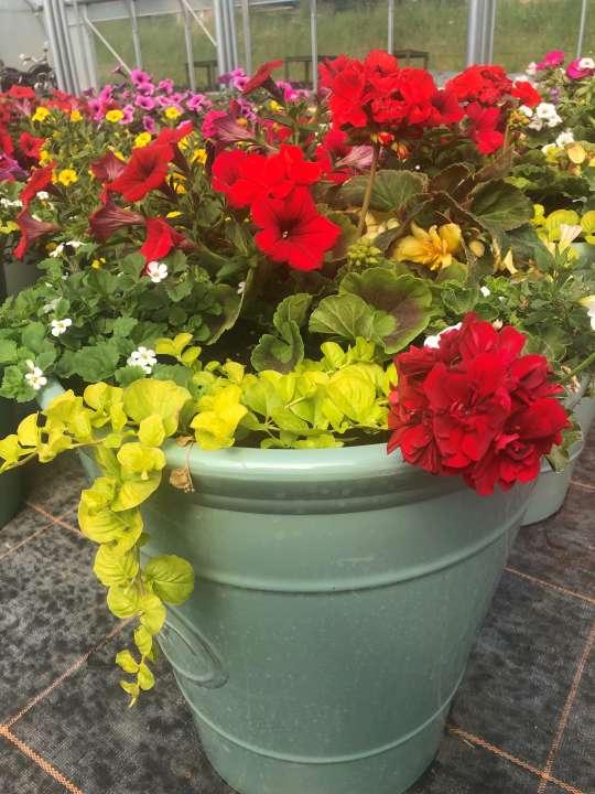 geraniums growing in a pot