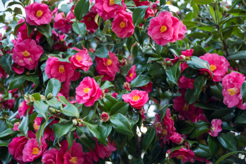 camellias growing