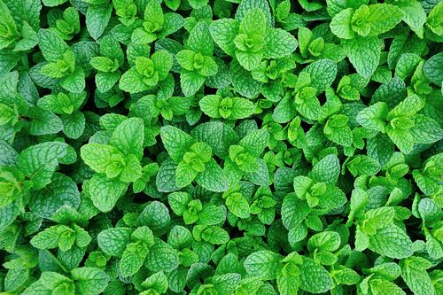 fresh mint growing